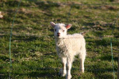 Lamb alert