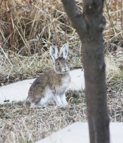 Snowshoe Hare April 22 2012
