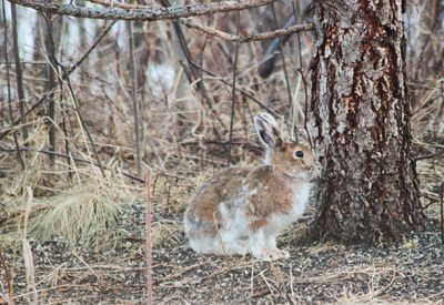 Snowshoe hare on April 23