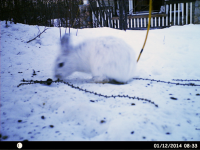 Snowshoe hare in the wild