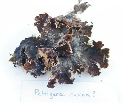 Peltigera canina 042714
