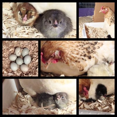 Chick collage