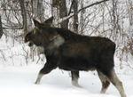 Moose031906